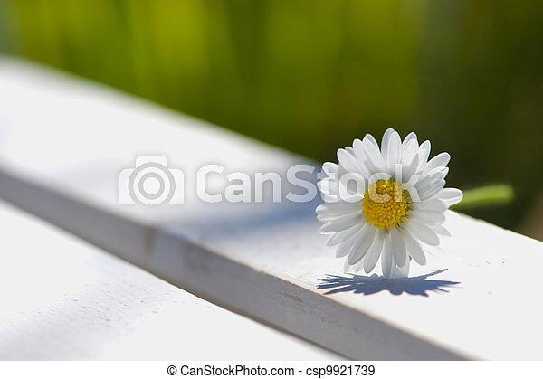 Daisy flower - csp9921739