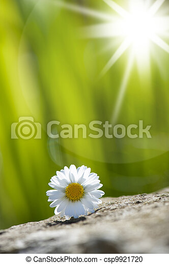 Daisy flower - csp9921720