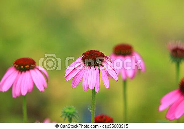 Daisy flowers in the garden - csp35003315