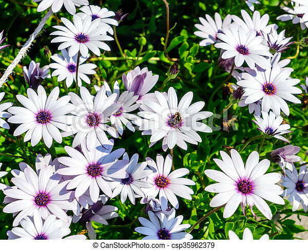 Daisy Flowers - csp35962379