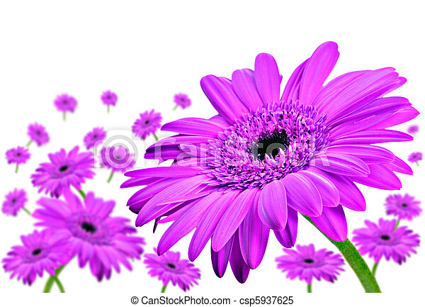 Daisy gerbera flowers on white - csp5937625