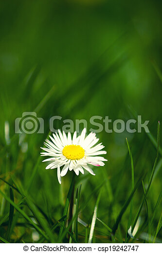 daisy in the grass - csp19242747