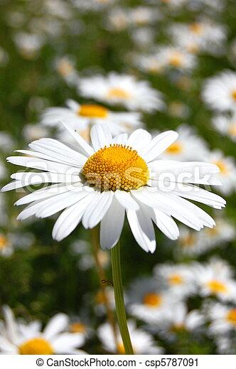 daisy on a field - csp5787091