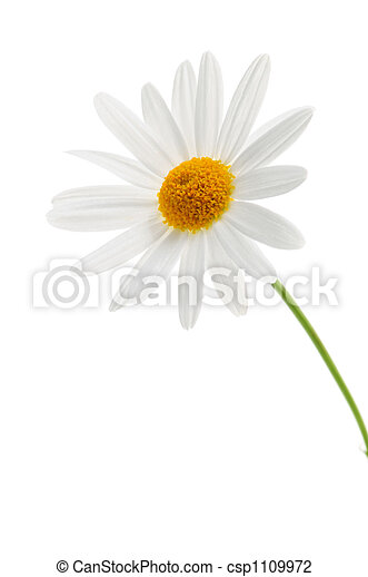 Daisy on white background - csp1109972