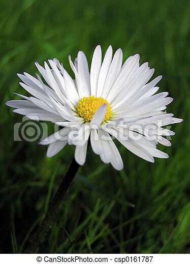 Daisy - csp0161787