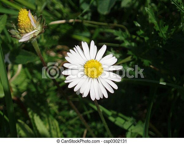 Daisy - csp0302131