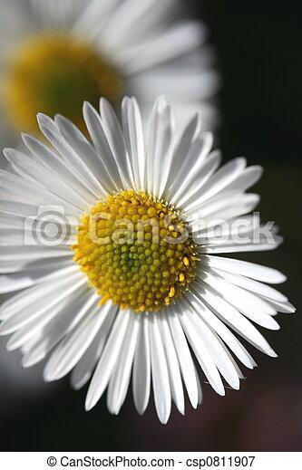 daisy - csp0811907