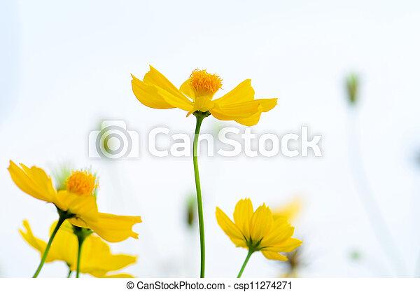 Daisy - csp11274271