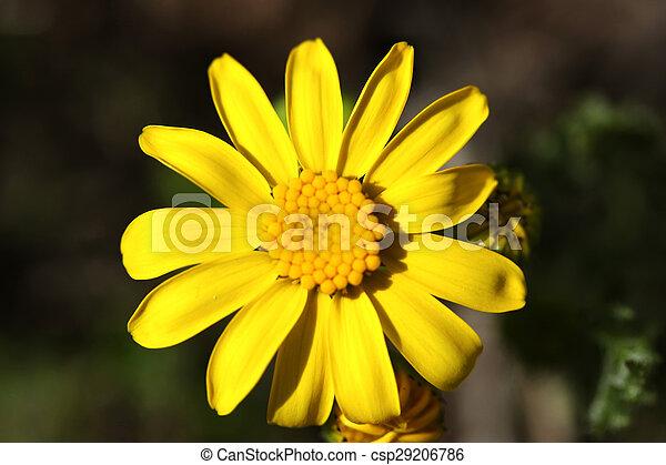 Daisy - csp29206786