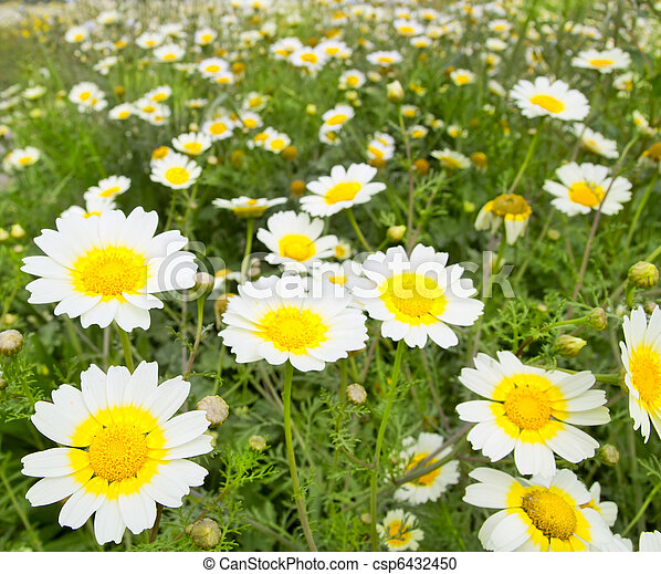 Daisy spring flowers field yellow and white meadow daisy spring daisy spring flowers field yellow and white meadow csp6432450 mightylinksfo