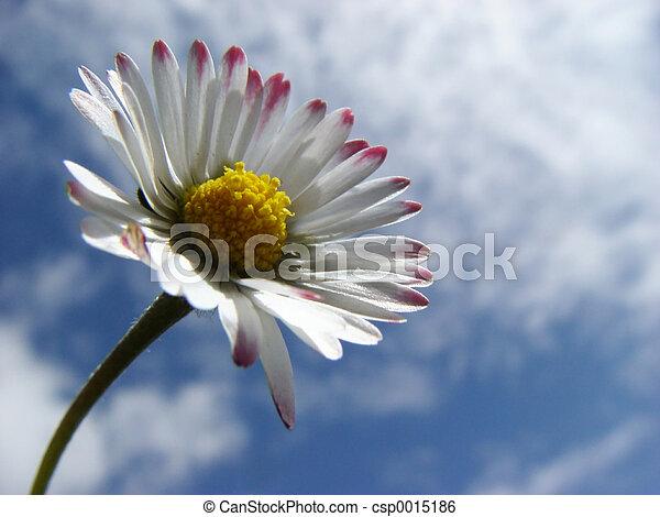 daisy - csp0015186