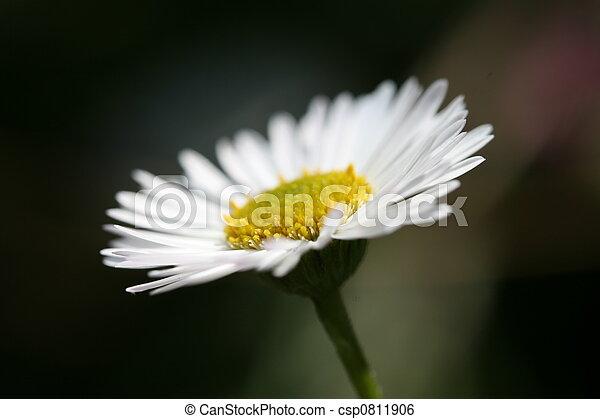 daisy - csp0811906