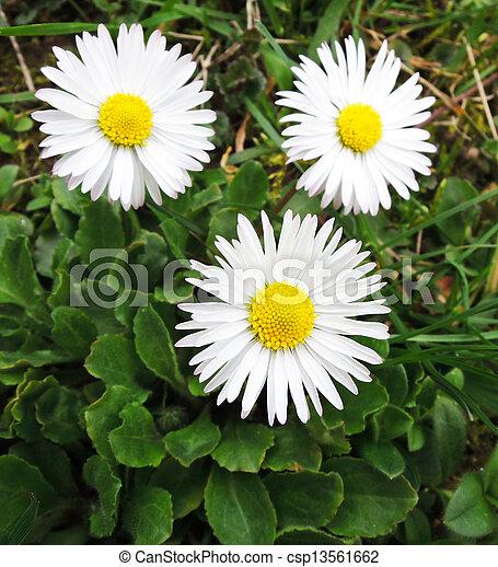 Daisy - csp13561662