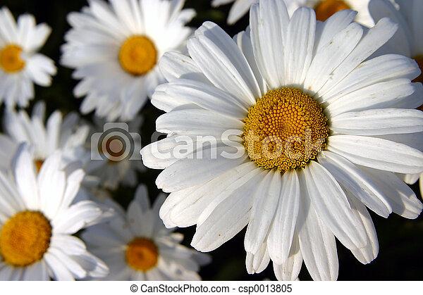 Daisy - csp0013805