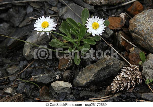 daisy - csp25172659