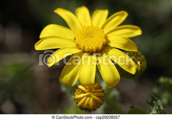 Daisy - csp29208057