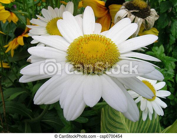 Daisy - csp0700454