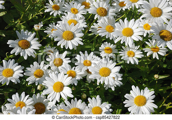 Daisy - csp85427822
