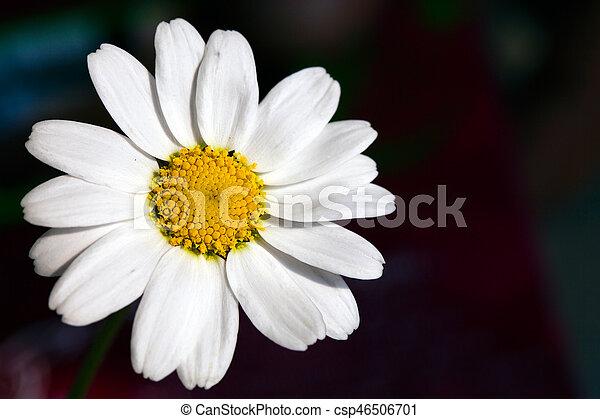 Daisy - csp46506701