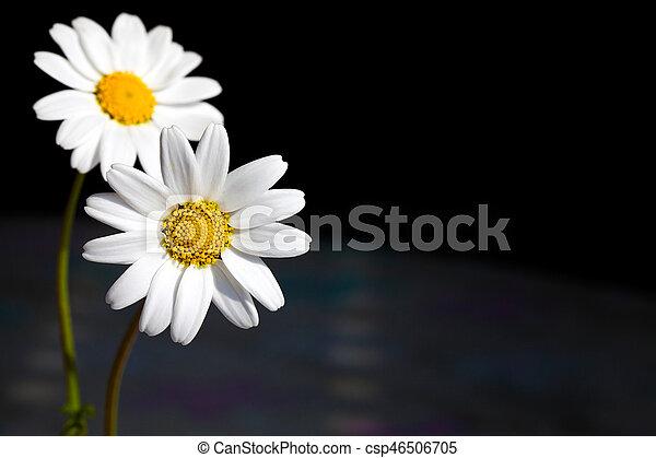 Daisy - csp46506705