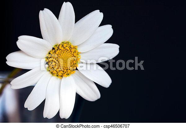 Daisy - csp46506707