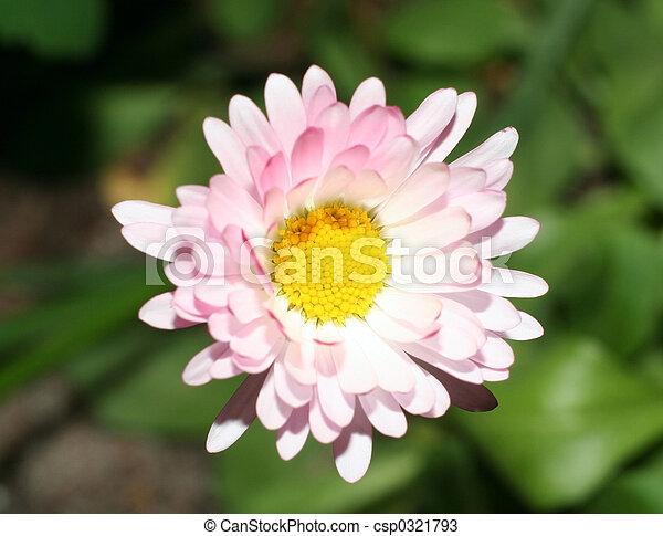 Daisy - csp0321793