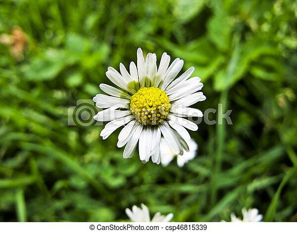 daisy - csp46815339
