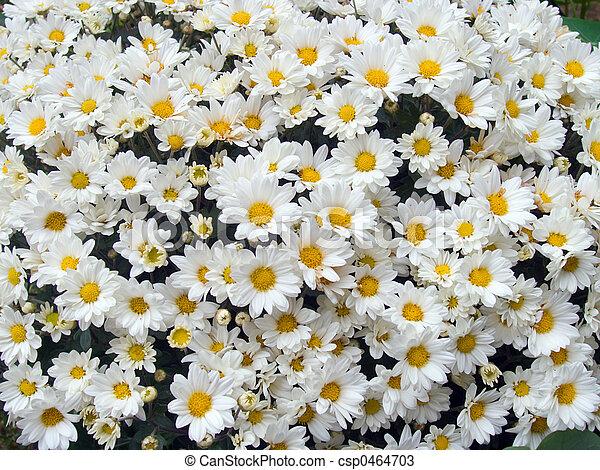 Daisys (2) - csp0464703