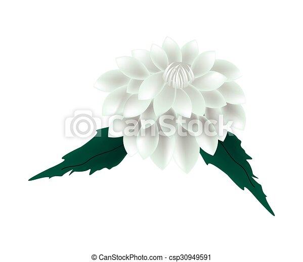 Flor blanca dalia en un fondo blanco - csp30949591