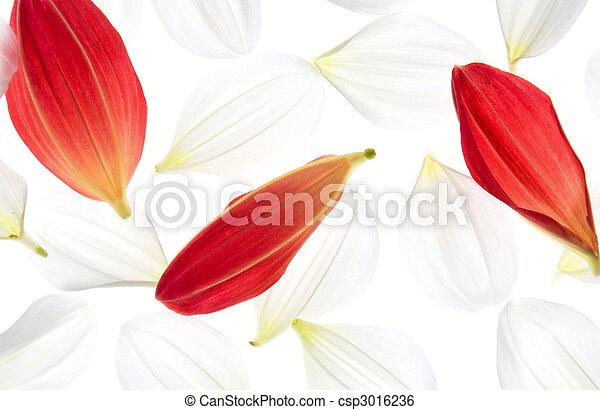 Dalia, pétalos. Pétalos, coloreado, fondo., dalia, rojo blanco.
