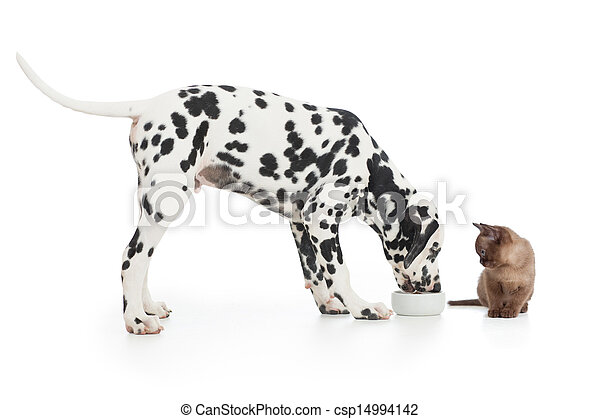 Dalmatian dog eating from bowl and kitten sitting close on white - csp14994142