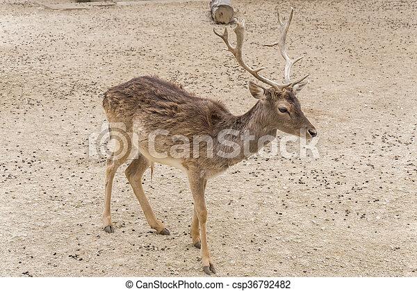 Dama dama, Fallow deer - csp36792482