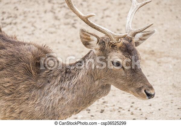 Dama dama, Fallow deer - csp36525299