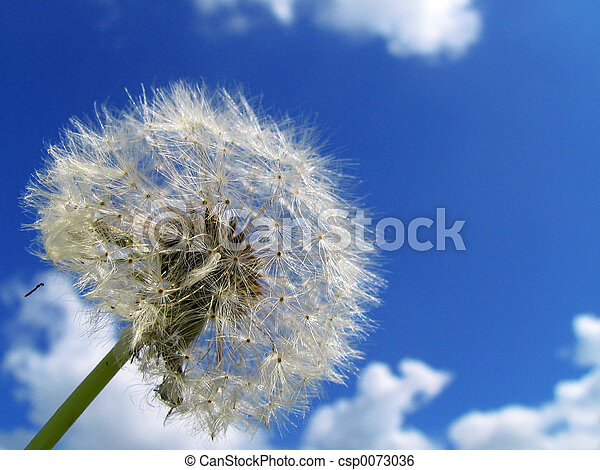 dandelion - csp0073036