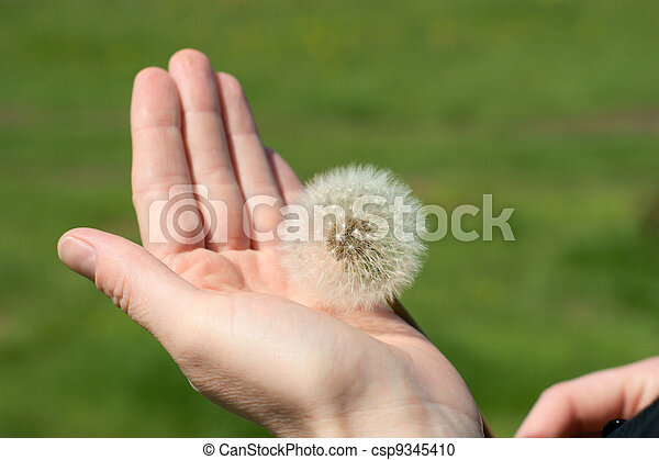 dandelion blow ball head in hand on the green background