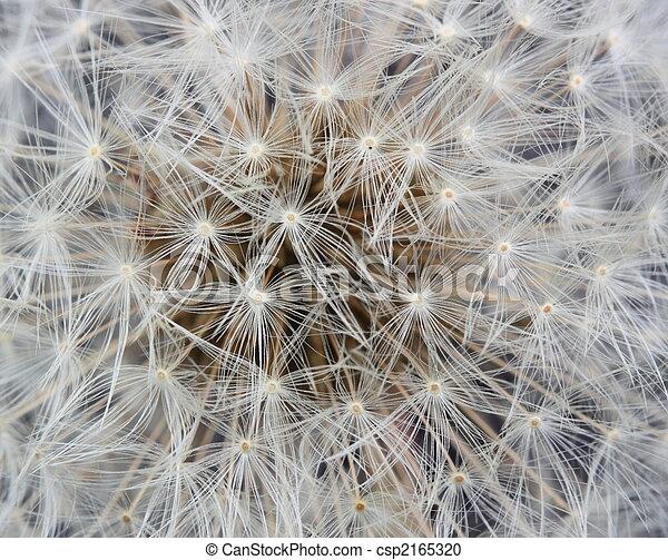dandelion clock - csp2165320