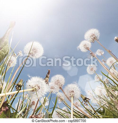 Dandelion Field Summer - csp5897700