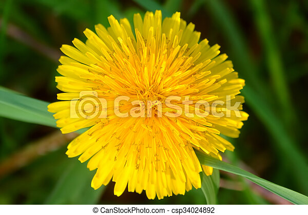 Dandelion Flower Illinois - csp34024892