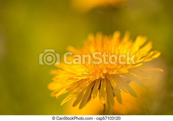 dandelion flower, tarassacum officinalis, close up - csp57103120