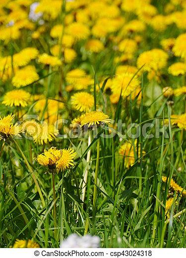 dandelion in a meadow - csp43024318