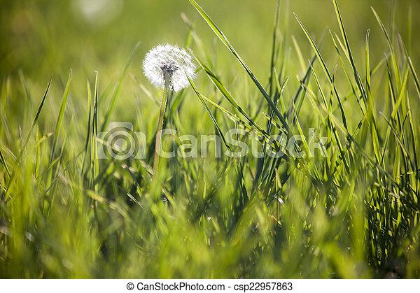 Dandelion in a meadow - csp22957863