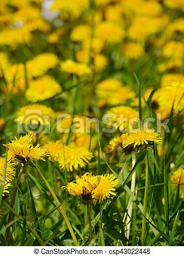dandelion in a meadow - csp43022448