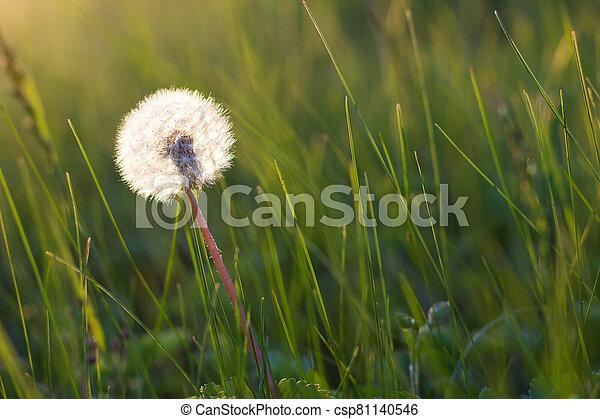 Dandelion in a meadow - csp81140546