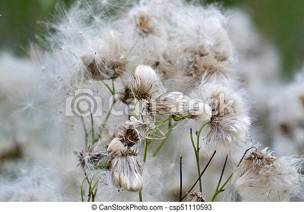 Dandelion in a meadow - csp51110593
