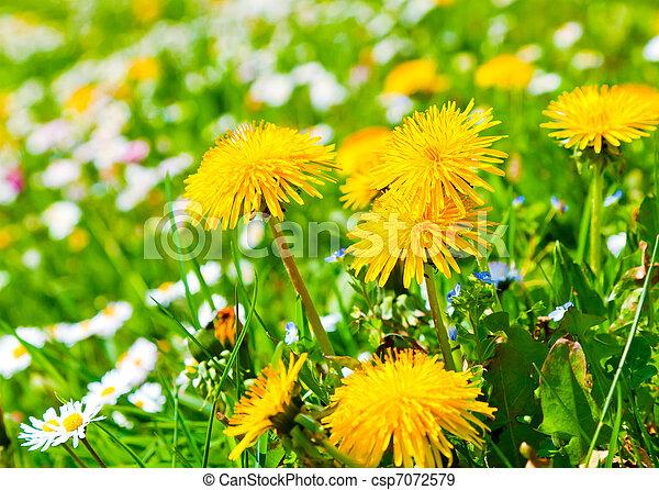 dandelion in a meadow - csp7072579