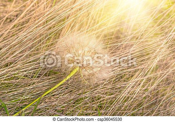 Dandelion in the grass - csp36045530