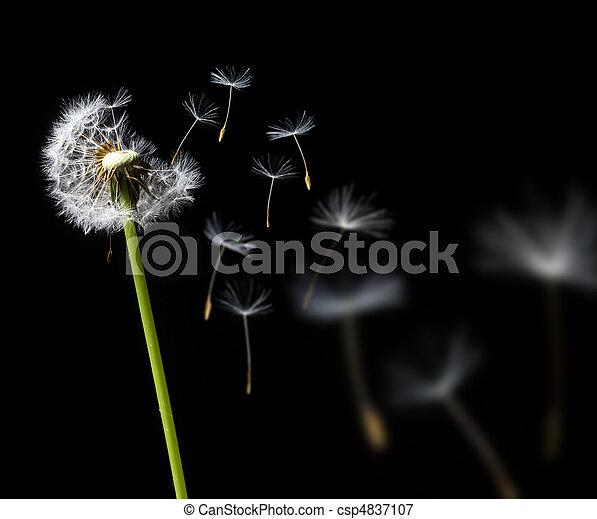 dandelion in the wind - csp4837107