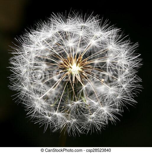 Dandelion on a black background. close - csp28523840