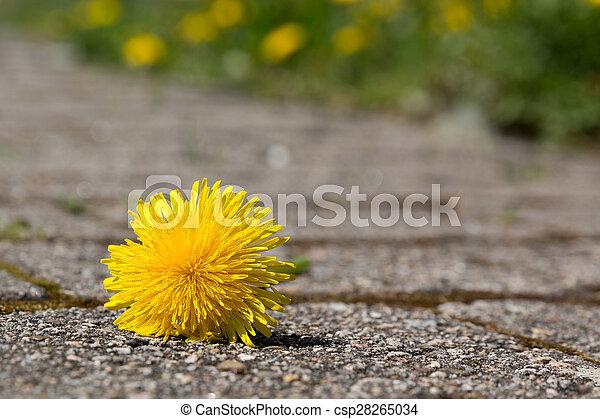 dandelion on the ground - csp28265034