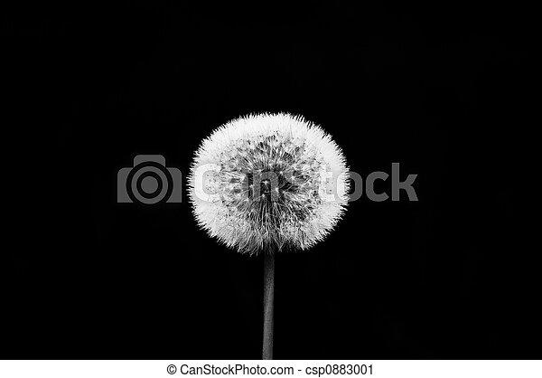 Dandelion - csp0883001
